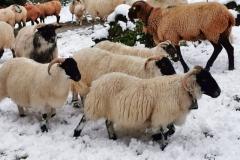Diese Schafsböcke sind immer zu viert unterwegs