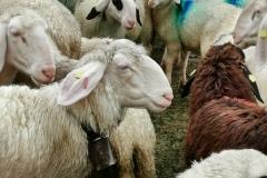 Das markante Villnösser Brillenschaf ist eine der ältesten Schafrassen Europas