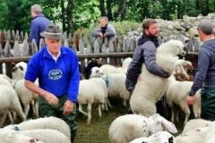 Vor dem Trennen muss das Schaf erst mal gefangen werden