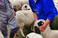 Mit der Ohrmarke wird das Schaf eindeutig identifiziert