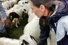 Manche Schafe erkennen Ihre Besitzerin. Kein Wunder bei Flaschenaufzucht, wie sie uns erzählt