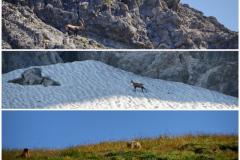 Tiersichtungen am Wegesrand an diesem Tag: Steinbock, Gems, Murmeltier