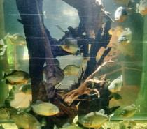 Rote Piranhas halten viel Abstand im SEA LIFE Konstanz